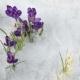 Hand Pull Tear Crocus Saffron Flower Snow In Spring Garden