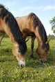 Horses are eating grass on the field - PhotoDune Item for Sale