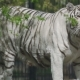 Gorgeous White Tigress