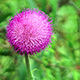 Thistle Flower Among the Grass