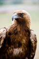 Golden Eagle bird of prey - PhotoDune Item for Sale