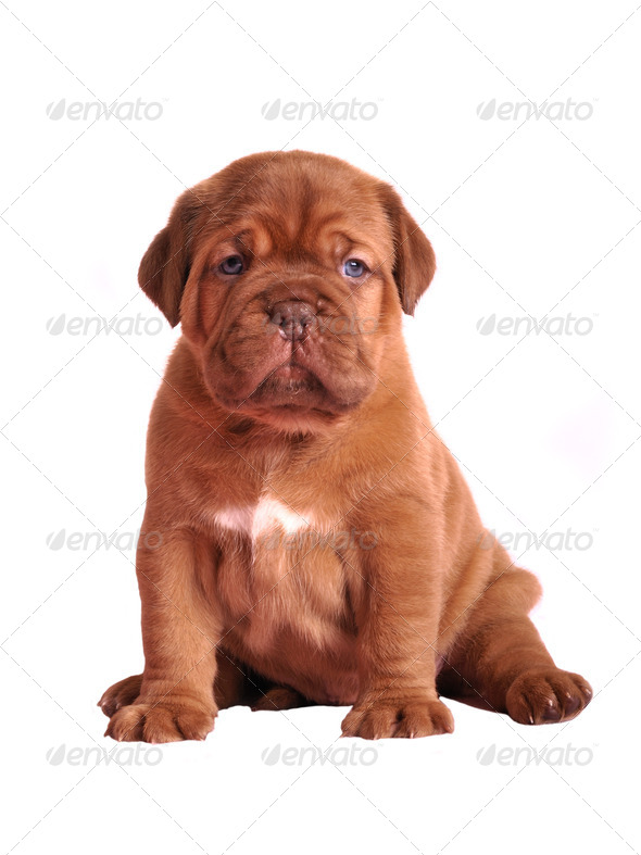 Dogue De Bordeaux puppy sitting - Stock Photo - Images
