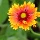 Blooming Orange-yellow Flower Gerberas
