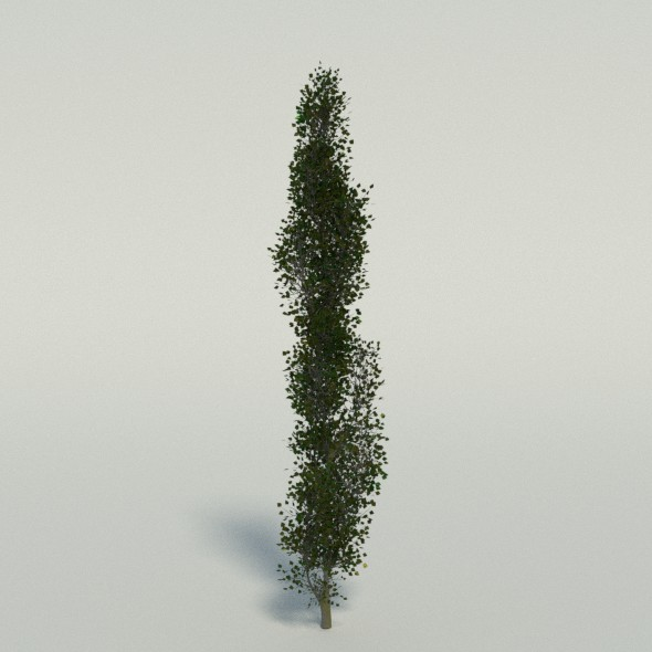 Poplar Tree - 3DOcean Item for Sale