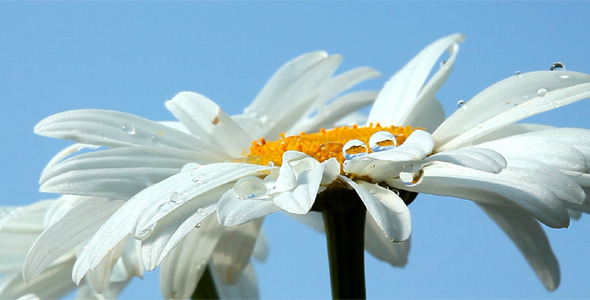 Camomile Flower With Dew