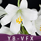 White Lily - 2