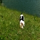 Jack Russell Terrier Rolling in the Grass 5