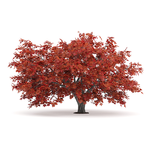 Japanese Maple (Acer Palmatum) - 3DOcean Item for Sale