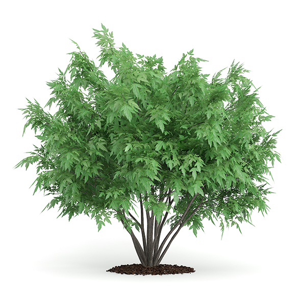 Amur Maple (Acer ginnala) - 3DOcean Item for Sale