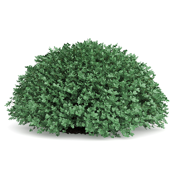 Round Boxwood Plant (Buxus sempervirens) - 3DOcean Item for Sale
