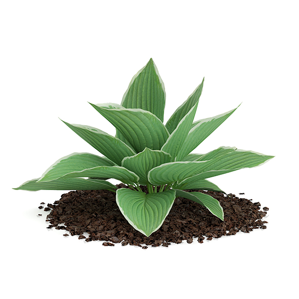 Hosta Plant (Hosta kiyosumiensis) - 3DOcean Item for Sale