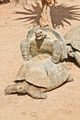 Mating Turtles - PhotoDune Item for Sale