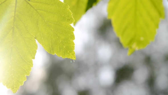 Download Green Leaves On a Blurred Background  nulled download