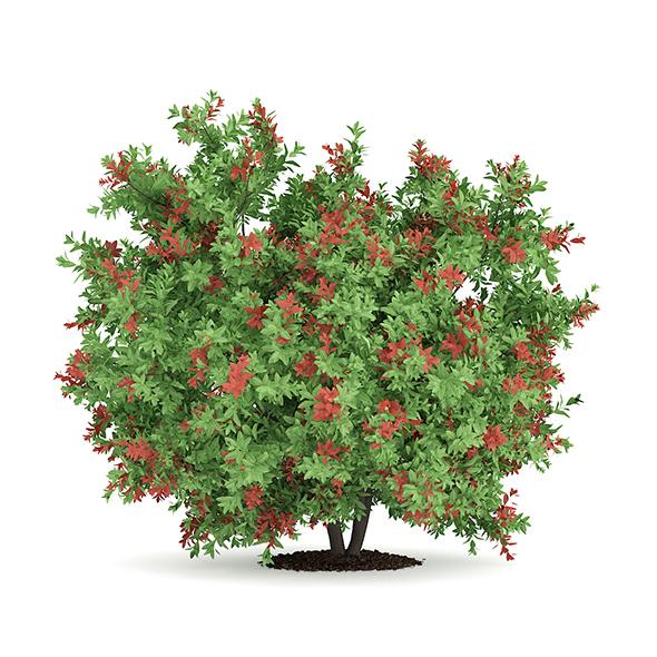 Pidgeon Berry Shrub (Rivina humilis) - 3DOcean Item for Sale
