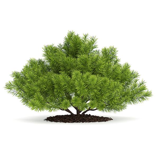 Pine Shrub (Pinus) - 3DOcean Item for Sale