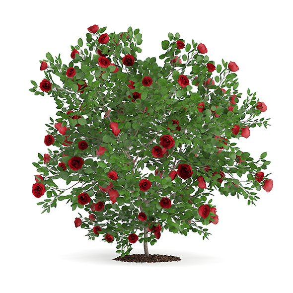 Red Rose Shrub - 3DOcean Item for Sale