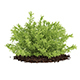 Thin Leaves Sedum Plant (Sedum album)