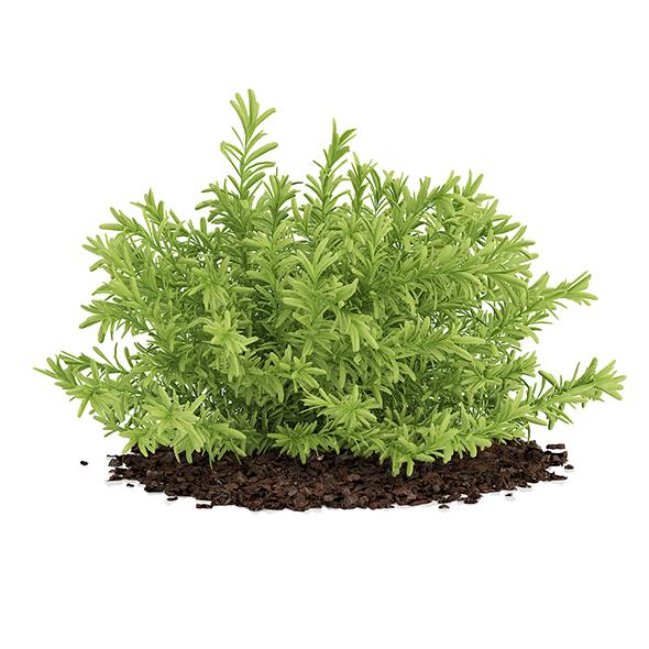 Thin Leaves Sedum Plant (Sedum album) - 3DOcean Item for Sale