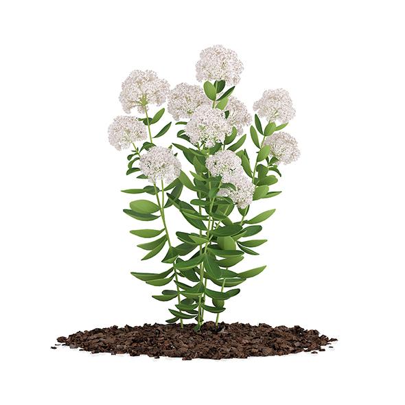 3DOcean Flowering Sedum Plant Sedum sarmentosum 16886006
