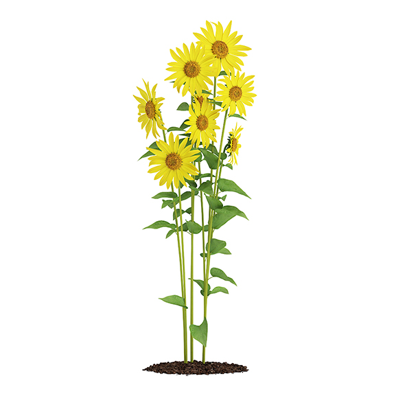 Sunflowers (Helianthus) - 3DOcean Item for Sale