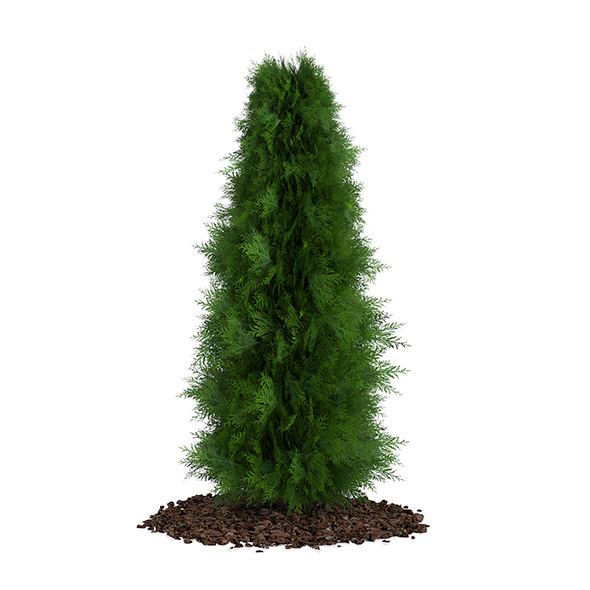 Thuja (Thuja koraiensis) - 3DOcean Item for Sale