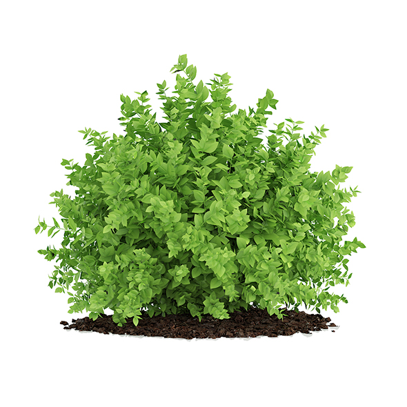 Small Boxwood Plant (Buxus sempervirens) - 3DOcean Item for Sale