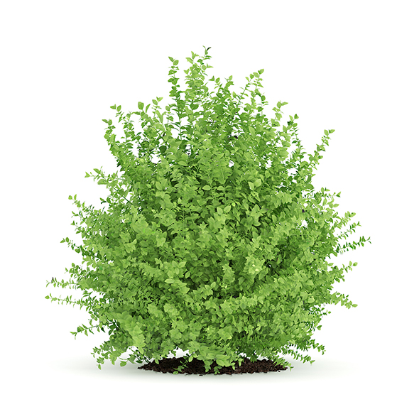 Large Boxwood Plant (Buxus sempervirens) - 3DOcean Item for Sale