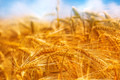 Golden barley field, selective focus