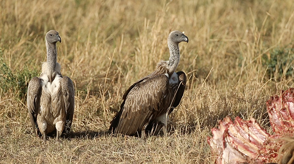 VideoHive Vultures on the African Plains 16953201