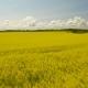 Yellow Rape Seed Field In Spring