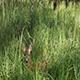 Roe Deer in Tall Green Grass