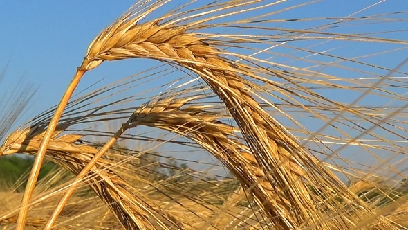 VideoHive Golden Ripe Ears Of Wheat Against The Sky 17016087