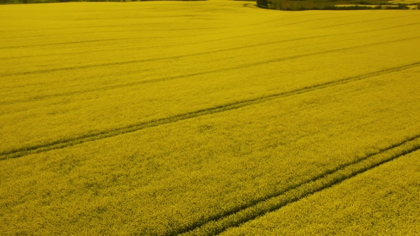 VideoHive Rural Landscape Yellow Rapeseed Field 17017762