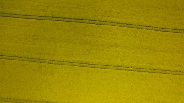VideoHive Rapeseed Field Brassica Napus 17018361