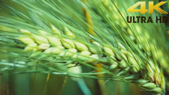Download Wheat Lightend on Sunny Day, Motion on Slight Wind nulled download