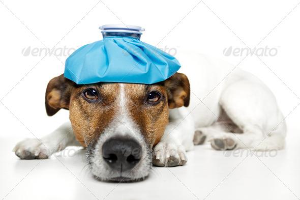 PhotoDune sick dog with hangover 1746677
