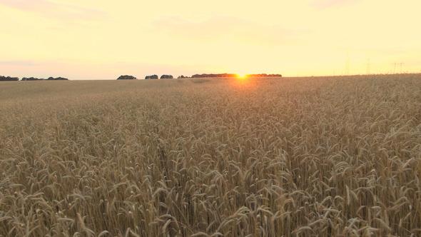 VideoHive Wheat Field 13 17031771