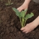 Planting a Small Plant Into Soil