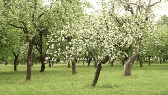 Download Blown Flower on Apple Tree nulled download