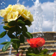 Fountain Waterfall and Roses