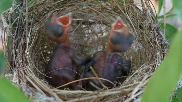 Download Baby Bird in Nest nulled download