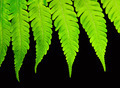 Fern isolated on black background - PhotoDune Item for Sale