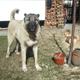 Large Dog Barking