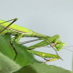 The Mantis Is Common On The Leaves Of Plants 4