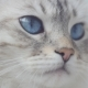 Portrait Of Cute Cat With Big Blue Eyes