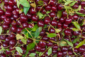 Background of ripe cherries.  Cherry selection