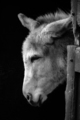 Donkey in monochrome