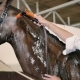 Young Man Cleaning The Horse In The Stall