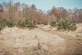Dirt track leading through new evergreen saplings