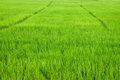 Green Paddy